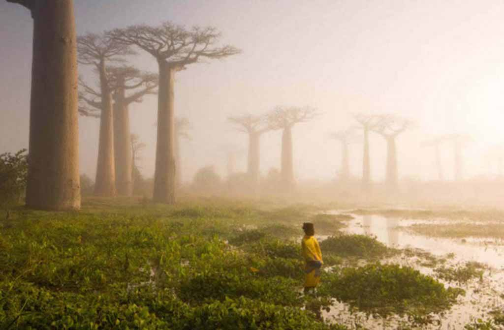 The baobab trees, Madagascar