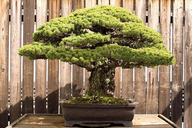 This Bonsai Tree was Planted in 1626