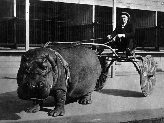 Hippo cart in 1924.
