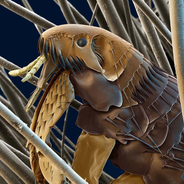 Coloured scanning electron micrograph of a cat flea