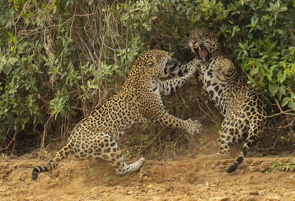 'The Spat'. Joe McDonald/Wildlife Photographer of the Year