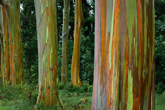 Rainbow Eucalyptus trees in Kailua, Hawaii.