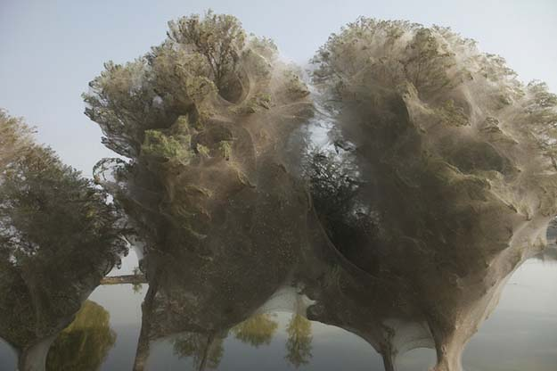 Spiderweb cocooned trees in Pakistan.