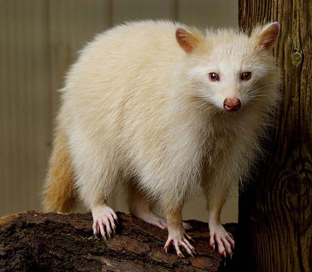 Albino Raccoon