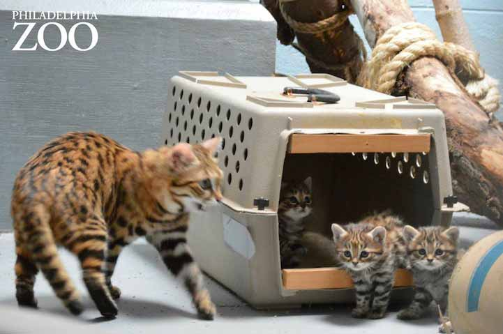 Philly Zoo's First Ever Black-Footed Kittens are Unbelievably Adorable