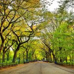 American Elm: Central Park, New York