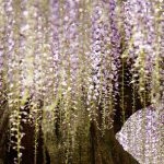 Wisteria Tree: Ashikaga Flower Park, Japan