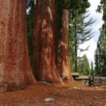 750 year old sequoia: Sequoia National Park, California