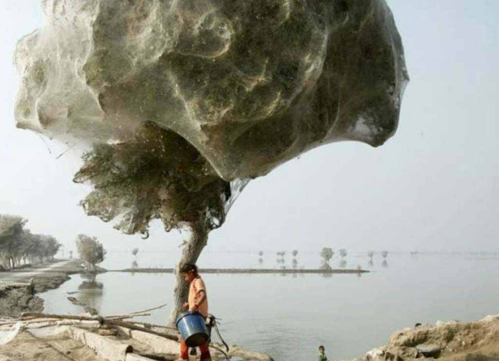 Spiders climbed trees to avoid flooding in Pakistan. Thousands of them ended up building webs there