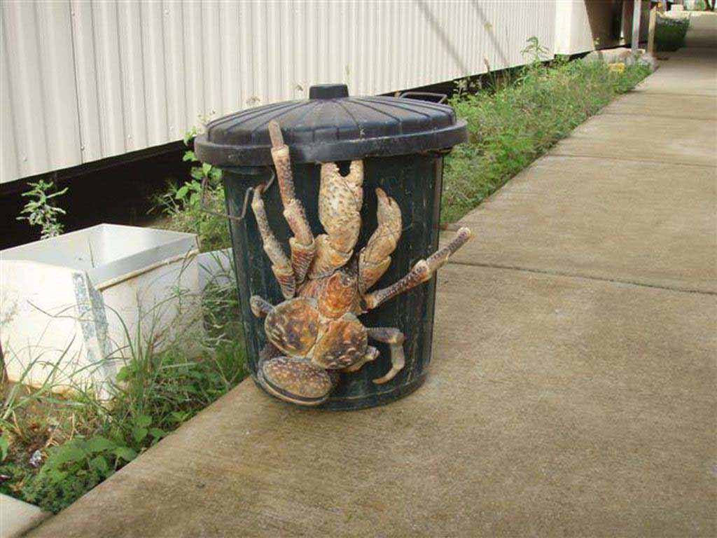 These enormous coconut crabs are a common sight in tropical climates