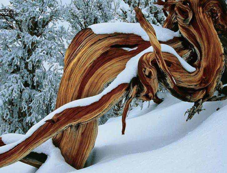 Bristlecone pine tree have in the White Mountains, California. They adapt to survive the harsh temperatures of winter and summer