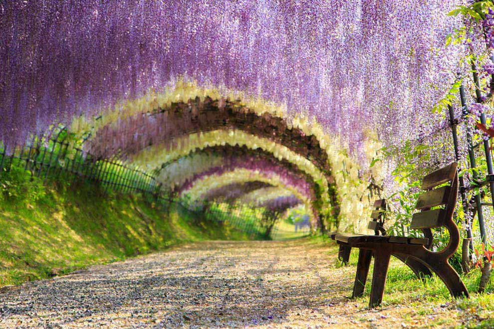 Wisteria flower tunnel, Kitakyushu, Japan