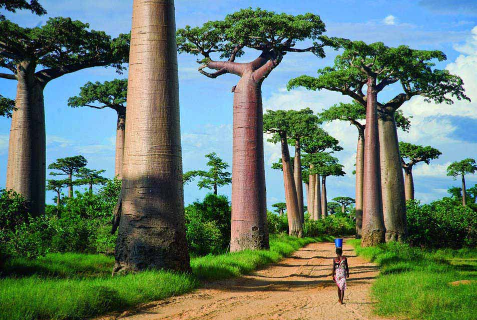 Avenue of the Baobabs, Madagascar, Africa