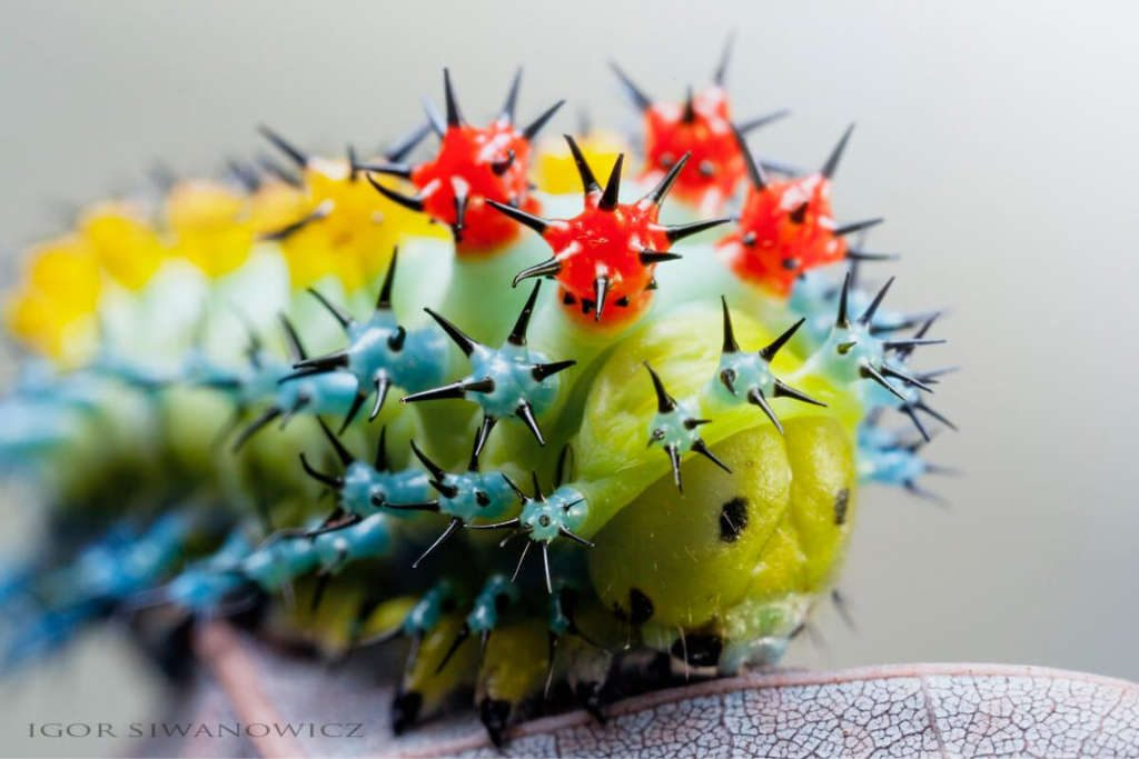 Astonishing Photos of Caterpillars By Igor Siwanowicz