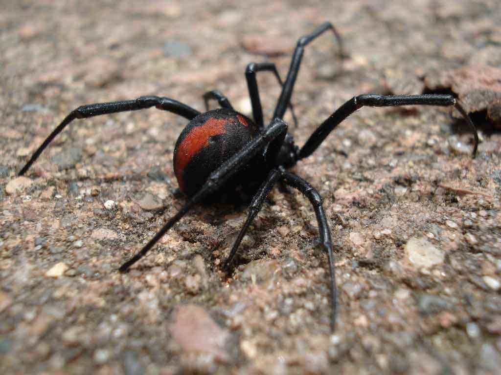 pasientza spider